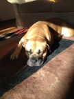a picture of my niece dog (breed: Boerboel)