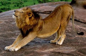 stretching-lion